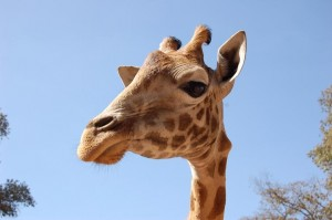The original giraffe photo I used as the basis for my first visual studies